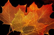 3-Maple_leaf_structure
