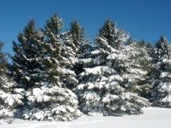 pinos-nevados